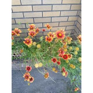 花の種 ガイデァルディア 増量5花分 おまけ2種類(プランター)