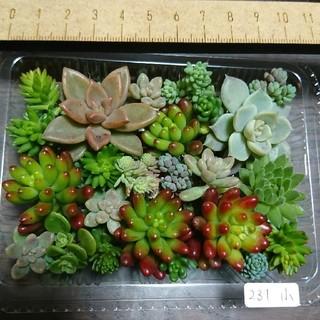 多肉植物 カット苗 231(その他)