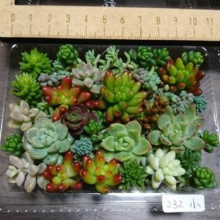 多肉植物 カット苗 232(その他)