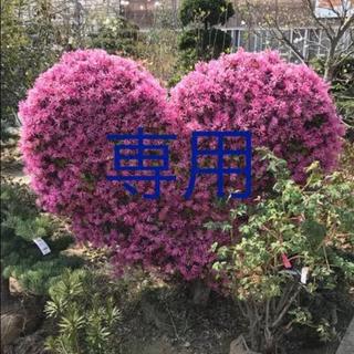 レッド様 専用★胡蝶の舞錦★斑入り★多肉植物(その他)