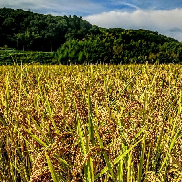 令和新米 低農薬玄米10キロ 山田錦の里より農家直送 食品/飲料/酒の食品(米/穀物)の商品写真