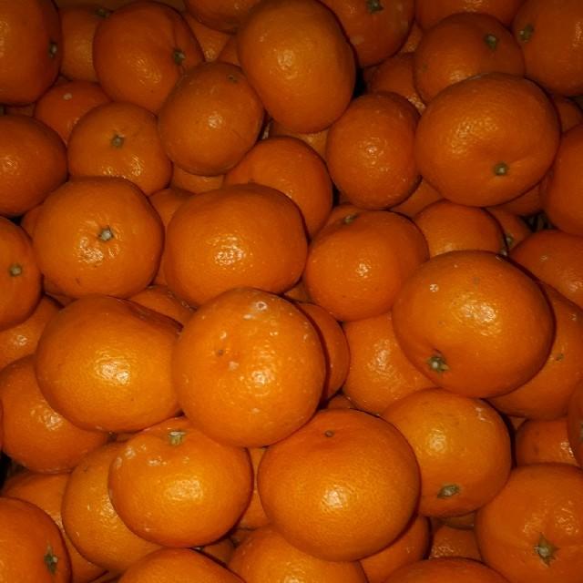 【マルチ栽培】佐世保温州みかん1キロ超 食品/飲料/酒の食品(フルーツ)の商品写真