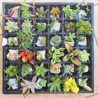 多肉植物  カット苗  たっぷり36種類(その他)