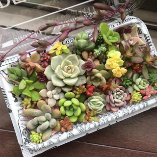 多肉植物カット苗セット大(その他)