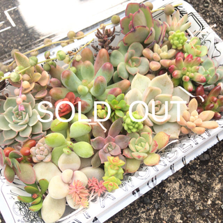 sold out     ✩.*˚多肉植物 カット苗 セット 紅葉(その他)