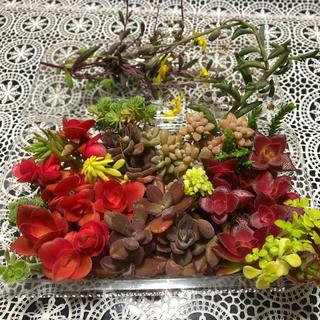 多肉植物  寄せ植えに   紅葉盛りの苗セット(その他)