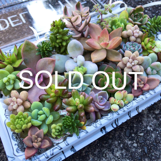 SOLD OUT✩.*˚多肉植物カット苗セット(その他)