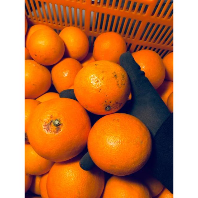 高級みかん【紅まどんな】贈答用 S〜3L玉 2kg 食品/飲料/酒の食品(フルーツ)の商品写真