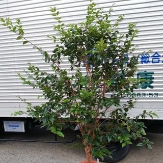 実付きジャボチカバ 大葉種(四季なり) 12号鉢 175cm~(フルーツ)