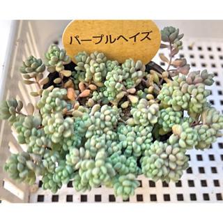 Y.T様専用 パープルヘイズ セダム 多肉植物(その他)