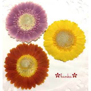 ✿押し花素材✿小さめ自然色ガーベラ3輪セット【直径約6.5cm】