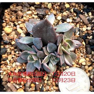値下げ‼️多肉植物 エケベリア ブラックプリンス錦 多頭 抜き苗 4(その他)