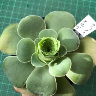 多肉植物 グリノービア  エルイエロー大苗⭕️最終大特価(その他)