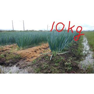 特別栽培野菜 長ねぎ(泥付き) 10kg (山形県産)(野菜)