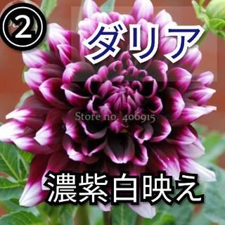 【ダリア②】濃紫白映え 長咲き!種子5粒(その他)