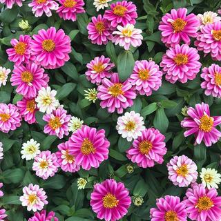 ジニア ザハラ  花の種 ミックス(ドライフラワー)