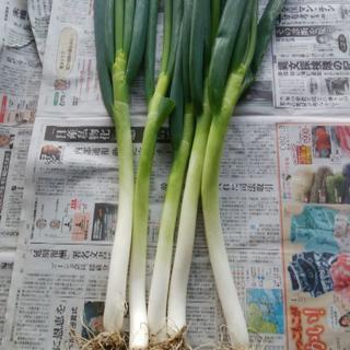 特別栽培野菜 長ねぎ(泥付き) 5kg (山形県産)(野菜)