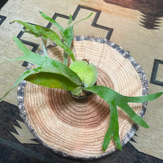 ビーチー コウモリラン 子株付き 観葉植物(その他)