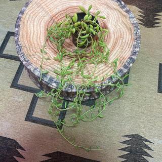 グリーンネックレス 約1M 観葉植物 サボテン(その他)