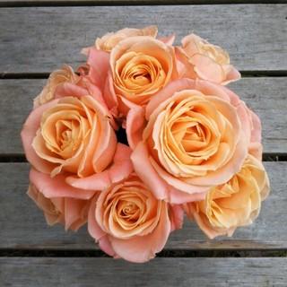 バラ苗 切り花品種 レア苗 ファンデーション(プランター)