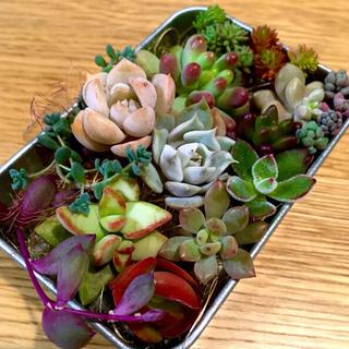 多肉植物♡カット苗(その他)