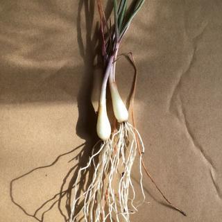 自然農法 苗 チャイブ 西洋アサツキ 球根 完全無農薬無化学肥料有機栽培畑(野菜)
