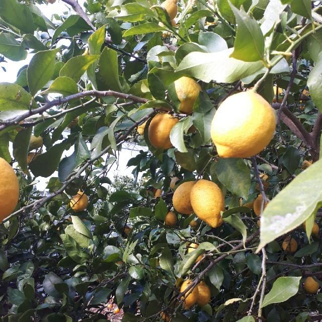 国産無農薬  レモン  5kg 送料無料 食品/飲料/酒の食品(フルーツ)の商品写真