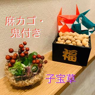 多肉植物 カット苗 ★節分【鬼付き】(その他)