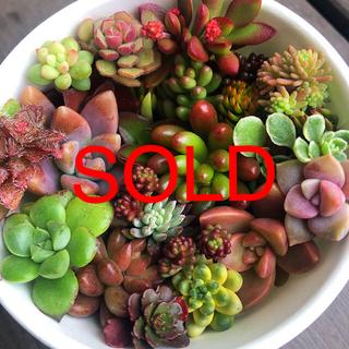 多肉植物カット苗紅稚児、カリフォルニアサンセット、グスト、ピンクベリーなど(その他)
