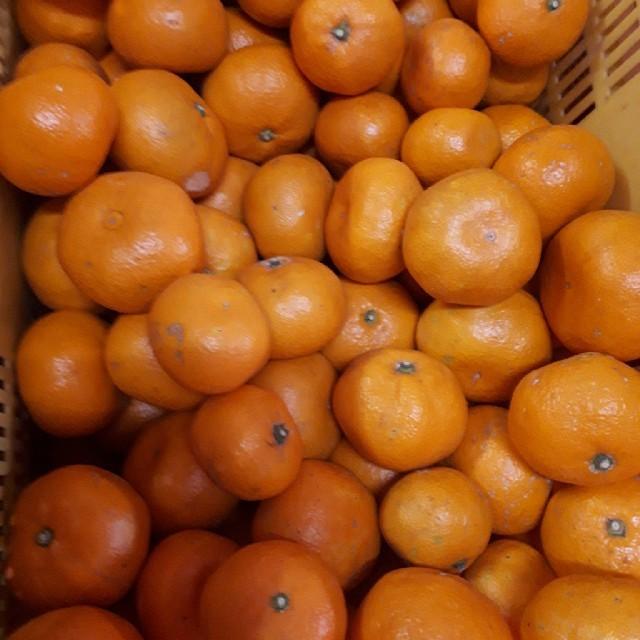 蒲郡みかん 10kg   青島みかん サイズ混合  訳あり 送料無料 食品/飲料/酒の食品(フルーツ)の商品写真