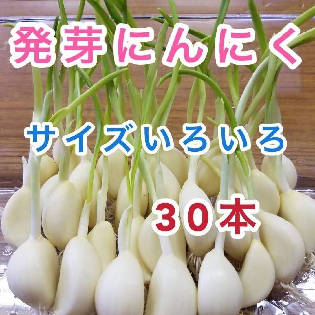 発芽にんにく 30本 食品/飲料/酒の食品(野菜)の商品写真