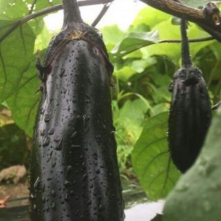 大山山麓無農薬無化学肥料栽培ナス1㎏送料込(野菜)