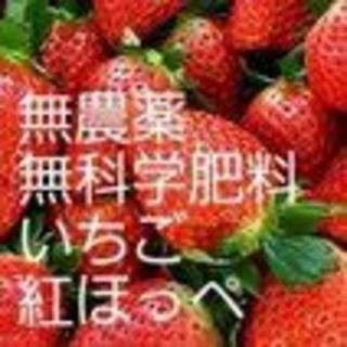 大山山麓無農薬無化学肥料栽培イチゴ送料込(フルーツ)