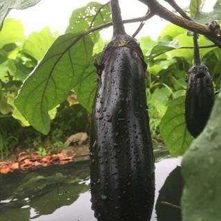 大山山麓無農薬無化学肥料栽培茄子4kg送料込(野菜)