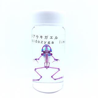 透明標本 アジアウキガエル2(置物)