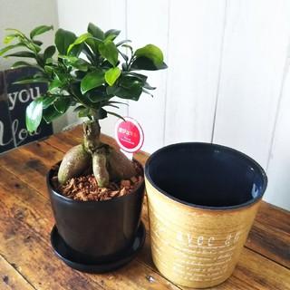 可愛いガジュマル♪聖木*精霊宿る観葉植物❗️受皿もしくは鉢カバープレゼント❗️(プランター)