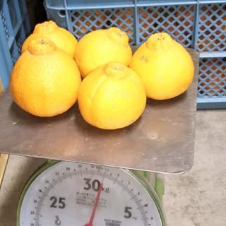 果物 デコポン(不知火)