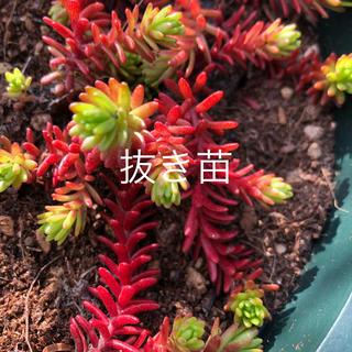 ♪抜き苗♪ 多肉植物 セダム 紅葉 クラシーノ ╰(*´︶`*)╯♡(その他)
