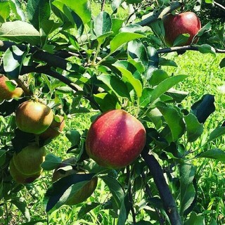 大山山麓無農薬無化学肥料栽培ふじりんご3kg送料込(フルーツ)