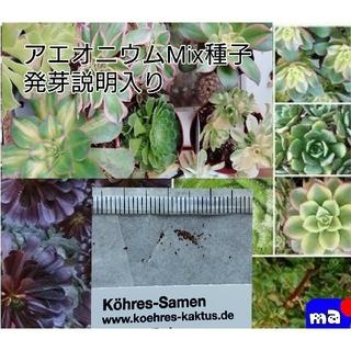 アエオニウム mix 種子 15粒 発芽説明入り(その他)