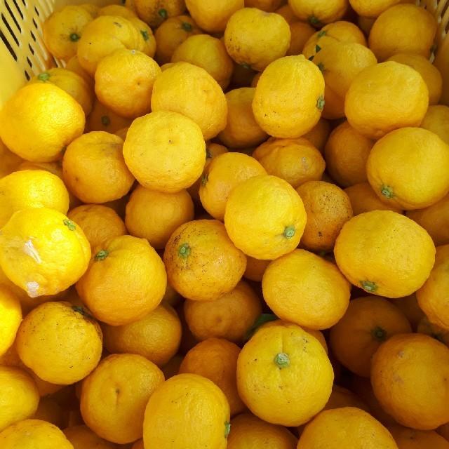 国産無農薬 ゆず 5kg サイズ混合 送料無料 訳あり 食品/飲料/酒の食品(フルーツ)の商品写真