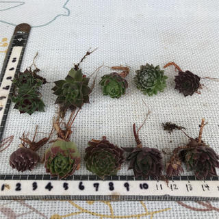 多肉植物 センペルビウム①カット苗(その他)