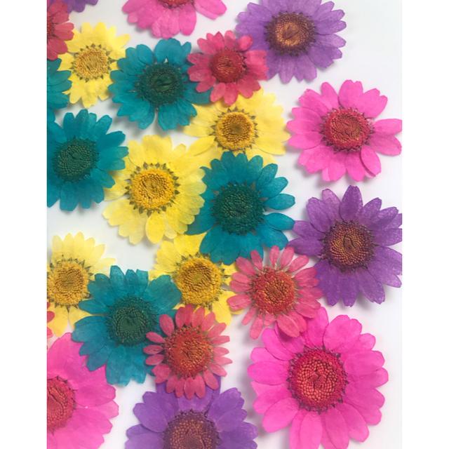 ノースポール押し花5色30枚 ハンドメイドのフラワー/ガーデン(ドライフラワー)の商品写真