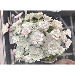 白雪ミセバヤ  多肉植物(その他)