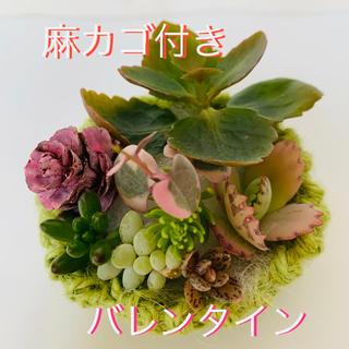 多肉植物 カット苗 ★バレンタイン(その他)