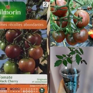 ブラックチェリートマトの種 20粒(野菜)