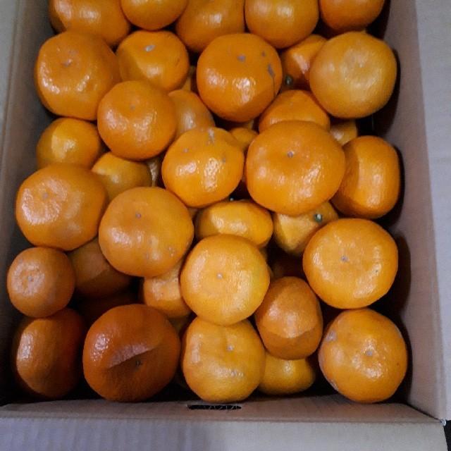 ねぎ様専 蒲郡みかん 10kg  青島 サイズ混合  訳あり えんどう350g 食品/飲料/酒の食品(フルーツ)の商品写真