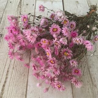 ドライフラワー ローダンセ 北海道花材(ドライフラワー)