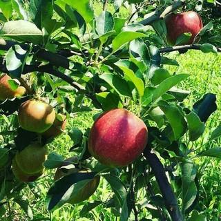 アイコン(iKON)の大山山麓無農薬無化学肥料栽培ふじりんご10kg送料込(フルーツ)