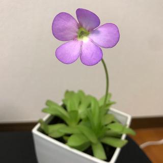 食虫植物 ムシトリスミレ ピンギキュラ アフロディーテ(その他)